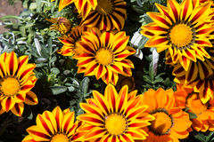 Angiosperms. Gazania colored yellow and Red stock photo