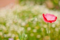 AngKhang-Blume in Thailand Stockbild