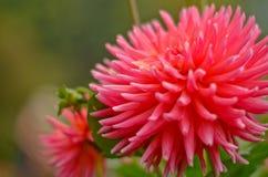 AngKhang-Blume in Thailand Stockfotografie