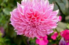 AngKhang-Blume in Thailand Lizenzfreie Stockfotos