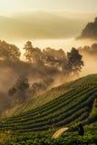 Angkhang truskawki plantacja Zdjęcie Royalty Free