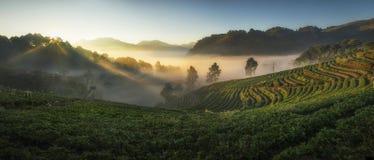 Angkhangst Angkhang Aardbeiaanplanting en ochtendmist Royalty-vrije Stock Afbeeldingen