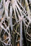 angkor根源结构树 免版税库存照片