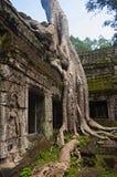 angkor Καμπότζη prohm TA Ναός ζουγκλών με τα ογκώδη δέντρα που αυξάνονται από τους τοίχους του Στοκ εικόνες με δικαίωμα ελεύθερης χρήσης
