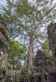 Angkor merci Prohm au Cambodge Photographie stock libre de droits