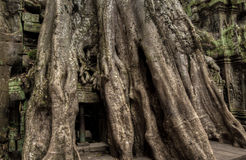 Angkor Prohm Khmer ancient Buddhist temple in jungle forest. Famous Stock Image