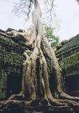angkor przerośnięty ruiny świątyni wat fotografia royalty free