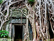 Angkor Ruins. The Ta Phrom Temple inside the Angkor Wat complex, Cambodia is being taken over by spung trees Royalty Free Stock Image