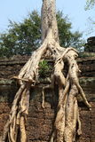 Angkor Wat. Tree growing on ancient Angkor Wat ruins Royalty Free Stock Image