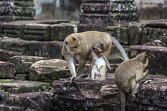 Angkor Wat Affe Stockfoto