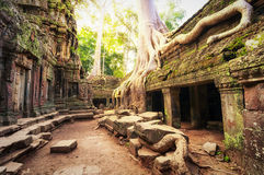 Angkor Wat Cambodia. Ta Prohm Khmer ancient Buddhist temple. In jungle forest. Famous landmark, place of worship and popular tourist travel destination in Asia