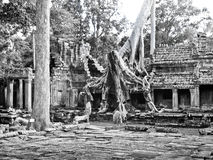 Angkor Wat giant trees Royalty Free Stock Photos