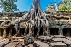 Angkor wat Kambodja van de Banyanboom Ta prohm Stock Afbeelding