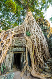 Angkor wat 38. A large Jungle tree covering the doorway and buildings of the temple of Ta Prohm in Angkor Wat (Siem Reap, Cambodia Stock Images