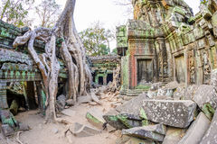 Angkor wat 10. A large Jungle tree covering the stones of the temple of Ta Prohm in Angkor Wat (Siem Reap, Cambodia Stock Photo