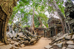 Angkor wat 16. A large Jungle tree growing among the stones of the temple of Ta Prohm in Angkor Wat (Siem Reap, Cambodia Stock Photography