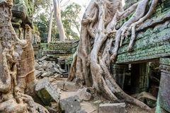 Angkor wat 36. A large Jungle tree growing on top of  the buildings of the temple of Ta Prohm in Angkor Wat (Siem Reap, Cambodia Stock Photos