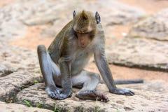 Angkor Wat monkey. Close-up of a long-tailed Macaque monkey, at Angkor Wat, Cambodia Stock Images