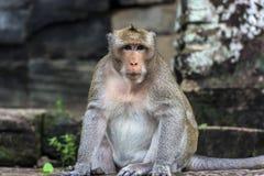 Angkor Wat monkey. Monkey at Angkor site, Cambodia Stock Photography