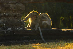 Angkor Wat Monkeys Royalty Free Stock Images