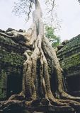 Angkor wat overgrown temple ruins Royalty Free Stock Photography