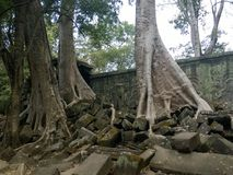 Angkor Wat in Siem Reap, Cambodia. Ancient ruins of Khmer stone temple overgrown with the roots and giant strangler fig trees. In jungle forest. Place of Royalty Free Stock Photography