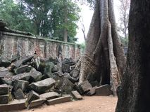 Angkor Wat in Siem Reap, Cambodia. Ancient ruins of Khmer stone temple overgrown with the roots and giant strangler fig trees. In jungle forest. Place of Royalty Free Stock Photo