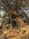Angkor Wat in Siem Reap, Cambodia. Ancient ruins of Khmer stone temple overgrown with the roots and giant strangler fig trees. In jungle forest. Place of Royalty Free Stock Photos