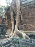 Angkor Wat in Siem Reap, Cambodia. Ancient ruins of Khmer stone temple overgrown with the roots and giant strangler fig trees. In jungle forest. Place of Stock Image