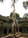 Angkor Wat Tree Stock Images