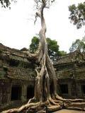 Angkor Wat Tree. Tree at Angkor Wat Ruins city Cambodia Stock Images