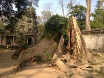 Angkor Wat w Siem Przeprowadza żniwa, cambodia Antyczne ruiny Khmer drylują świątynię przerastającą z gigantycznymi dusiciel figi Fotografia Royalty Free