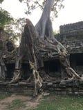 Angkor Wat w Siem Przeprowadza żniwa, cambodia Antyczne ruiny Khmer drylują świątynię przerastającą z gigantycznymi dusiciel figi Obrazy Stock