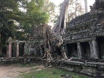 Angkor Wat w Siem Przeprowadza żniwa, cambodia Antyczne ruiny Khmer drylują świątynię przerastającą z gigantycznymi dusiciel figi Zdjęcia Royalty Free