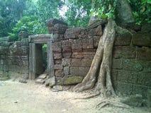 Angkor Wat w Siem Przeprowadza żniwa, cambodia Antyczne ruiny Khmer drylują świątynię przerastającą z gigantycznymi dusiciel figi Obrazy Royalty Free
