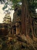 Angkor Wat w Siem Przeprowadza żniwa, cambodia Antyczne ruiny Khmer drylują świątynię przerastającą z gigantycznymi dusiciel figi Obraz Stock