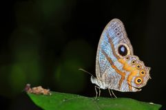 Angle cyclops butterfly 2. Angle cyclops butterfly of thailand background Royalty Free Stock Image