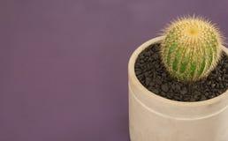 angle de 45 degrés de cactus sur le fond violet Photo libre de droits