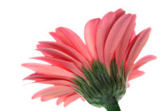 Angle faible de gerbera rose Photos libres de droits