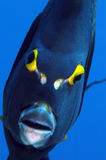 Angle fish. Beautiful shot of an ange fish with yellow eyes staring into the camera stock image
