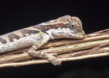 Angle head lizard. Stock Photography