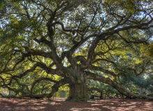 Angle Oak Tree Stock Image