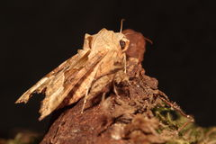 Angle shades moth. Royalty Free Stock Photography