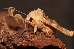 Angle shades moth. Stock Photo