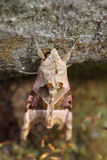 Angle shades (Phlogophora meticulosa). Moth resting on stone Stock Image
