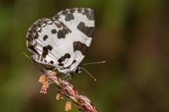 Angled бабочка pierrot стоковая фотография