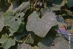 Angled люфа, завод cucurbits растет для своих незрелых плодоовощей как овощ, листья повреждают от червя горнорабочей лист бича и  Стоковая Фотография