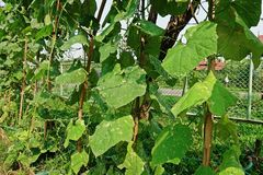 Angled люфа, завод cucurbits растет для своих незрелых плодоовощей как овощ, листья повреждают от червя горнорабочей лист бича и  Стоковое Фото