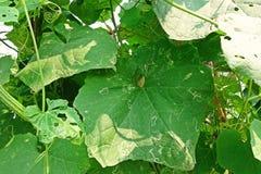 Angled люфа, листья повреждает от червя горнорабочей лист бича Стоковые Изображения