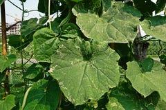 Angled люфа, листья повреждает от червя горнорабочей лист бича Стоковые Фотографии RF